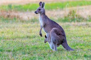 aerial photography wildlife photography eastern grey kangaroo animal image joey
