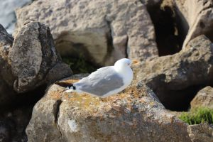 animal portugal scenic coast tranquil peaceful outdoor oiseau mouette rock