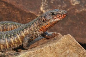 animal wildlife focus depth of field eye close-up rock vertebrate wildlife photography lizard