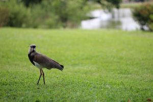 animals lapwing wild life nature southern lapwing southern wild animals
