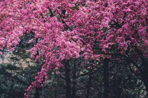 apple blossom flowers cherry sakura flora blossom