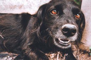 beautiful eyes dog brown eyes black cute animals love animals animal lover