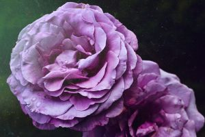 beauty in nature flower roses bloom color purple flowers mother nature purple purple flower rose