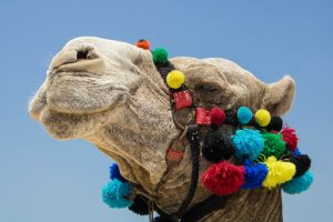 beauty nature desert beauty in nature cool animal head animal camel