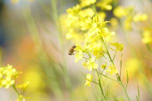 bee yellow flower honey bee yellow flower