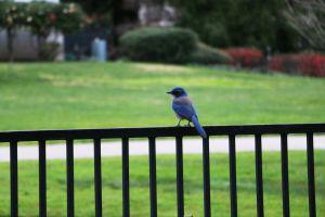 blue bird animal scrubjay