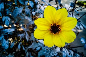 blue flower yellow