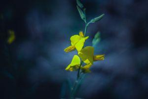 blue flowers golden yellow macro flower yellow tiny yellow background mine macro photo