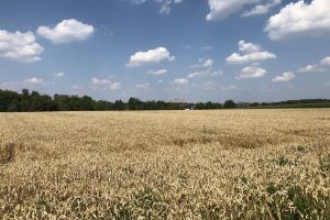 blue sky summer cornfield beauty in nature