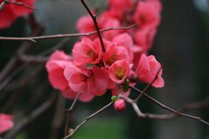 bright flower cherry blossom close-up