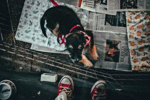 canine dog cute pet adorable animal domestic animal