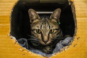 closeup feline striped funny pet playful cat paw beautiful mammal
