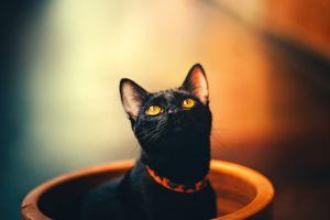 collar cute feline domestic animal looking up pet domestic cat cat black cat pet portrait