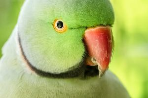 cute close-up ringneck parakeet exotic parakeet animal green
