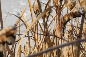 dried grass daylight season brown plant close-up wild dry cattails