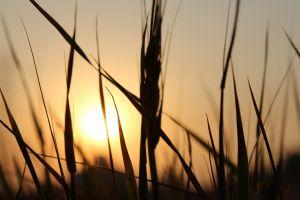 evening sun grains sunset grain plant