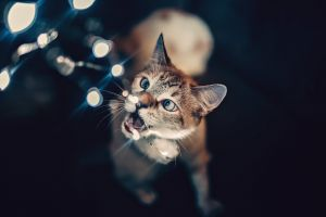 feline cat christmas lights pet portrait domestic animals pet cute looking up biting