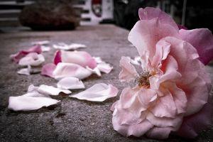 fleur flower rose