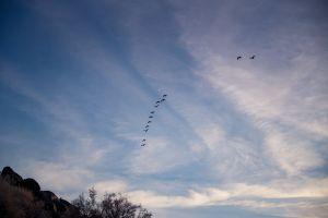 flock wildlife flock of birds flight clouds wings soar animals flying aviary