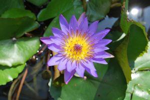 flower lotus lotus flower