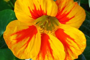 flower plant flame red orange bicolor nasturtium yellow