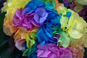 flower rainbow hydrangea