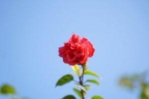 flower red rose red flower