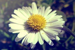 flowers blossom spring flowers white daisies bloom meadow wild flowers nature flower meadow