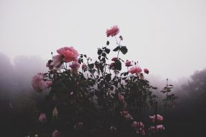 flowers bush mist beautiful flowers roses