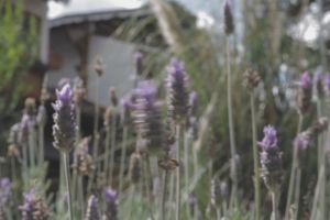 focus blossom plants garden nature bloom blurred background growth purple lavender