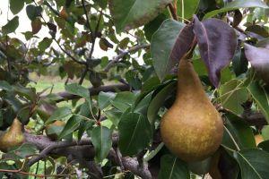 food healthy picking fresh fruit pear fruits