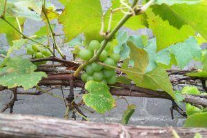 fruit anggur grape green tanaman