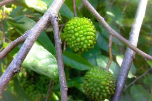 fruit nature green
