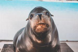 furry wild animal environment staring eyes close-up mammal daylight sea lion carnivore