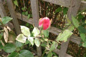 garden rose single