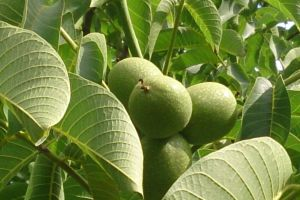 garden walnut green fruit
