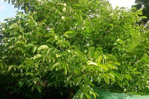 garden walnut tree walnut tree