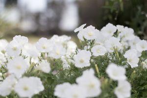 gardenias flowers summer white