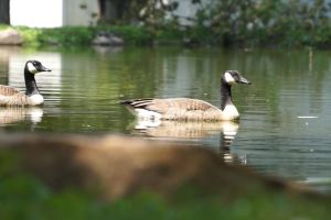 goose swimming reflection geese pond animals water waterfowls nature