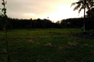 grass field sunset coconut tree