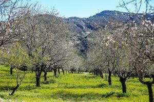 green almond tree mountains trees green grass grass garden
