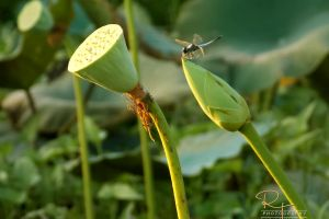 green dragonfly white lotus nature black