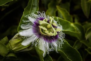 grow fruit garden passion fruit nature flowers nature photography country