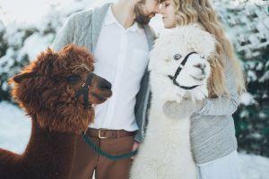 happiness winter man people heroesbrief woman animals llamas