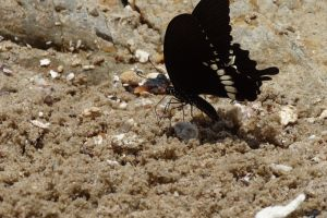 hong kong asia beach sand black butterfly on the sand insect butterfly
