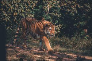 hunter felidae jungle predator safari mammal carnivore fur grass pattern
