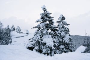 icy snow environment season winter spruce fir trees evergreen nature cold