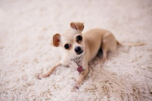 little domestic adorable chihuahua close-up mammal purebred baby animal canine