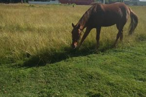 livestock horse grass animal eating