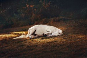 livestock mane laying white horse horse domestic animal resting no people mammal pony